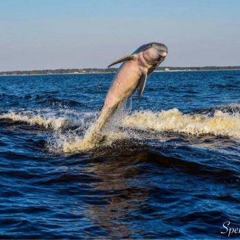 Dolphin Leaping out of Water Orange Beach